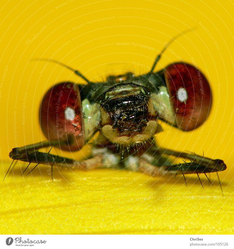 dann erzähl mal : Weidenjungfer 02 Gemeine Binsenjungfer Libelle Insekt Tier gelb Sonnenblume grün frontal Blüte Aussehen Blick Hallo Vorhang Nordwalde