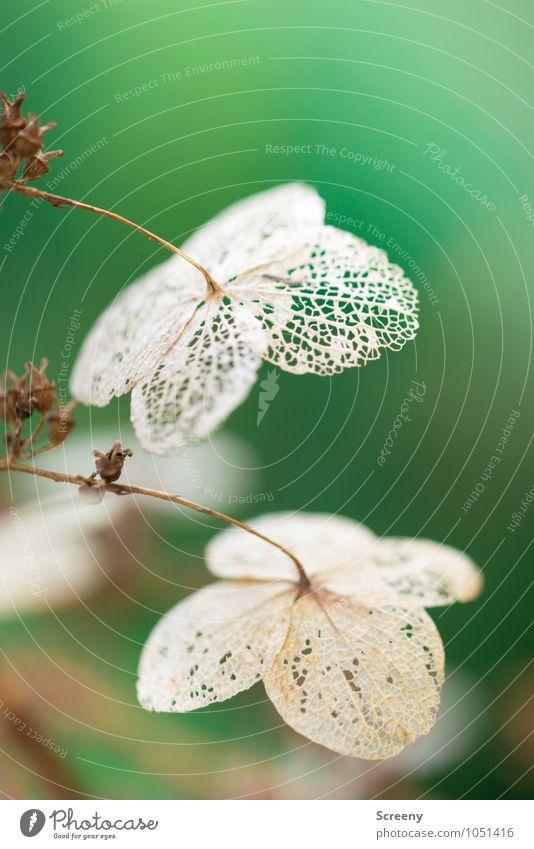 Vergänglich Natur Pflanze Herbst Winter Blüte Garten Park alt hängen verblüht dehydrieren natürlich trocken braun grün Gelassenheit ruhig Ende Verfall