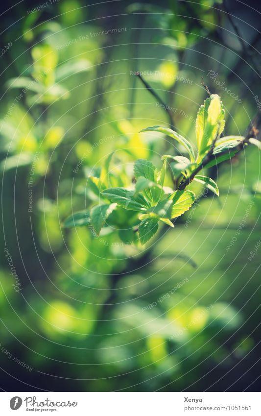 Zweig im Frühling Umwelt Natur Pflanze Sträucher Blatt Grünpflanze Garten grün leuchtend grün Sonnenstrahlen verträumt Frühlingsgefühle Außenaufnahme