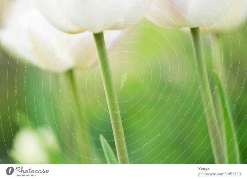 Schöne Stängel Natur Pflanze Blume Tulpe Blatt Blüte Garten Blühend ästhetisch elegant grün weiß Frühlingsgefühle zart Frühlingsblume frisch Außenaufnahme