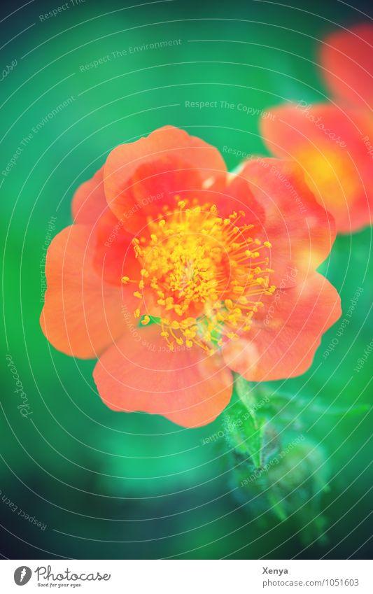 Blüte Mehrfachbelichtung Umwelt Natur Pflanze Garten Blühend grün orange Frühling Frühlingsgefühle Doppelbelichtung Außenaufnahme Experiment Menschenleer Tag