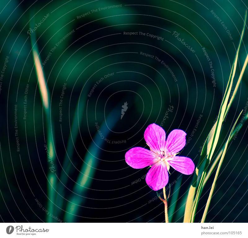 Blümchen schön Natur Pflanze Blume Gras Blüte Wiese grün rosa Einsamkeit Halm Blütenblatt blablabla Farbfoto Textfreiraum oben Tag