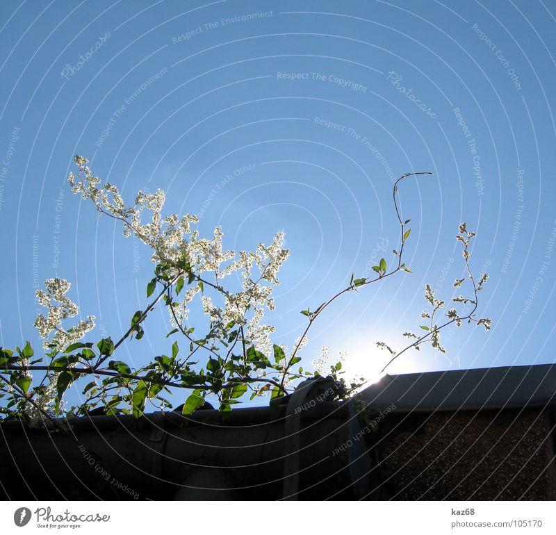 mittagssonne Pflanze Blume weiß grün Haus Dach Regenrinne stark Licht Umwelt Mittag Sonne Strahlung dunkel Suche Hintergrundbild Frankfurt am Main Sommer Physik