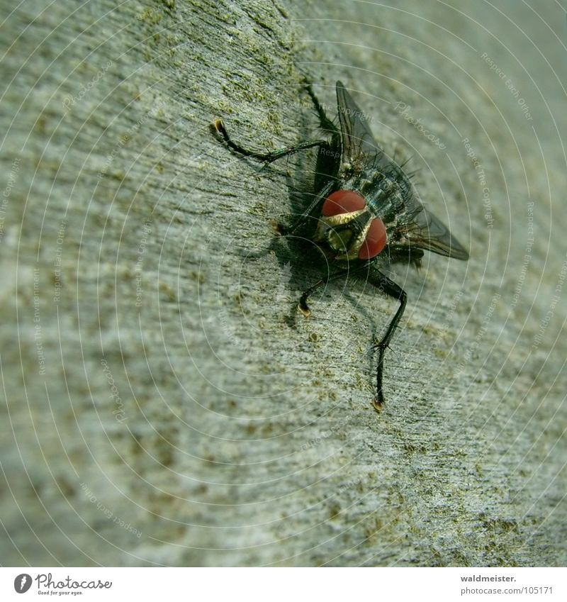 Meine Fliege sieht alles! Fleischfliege Insekt Makroaufnahme Blick Ekel lästig