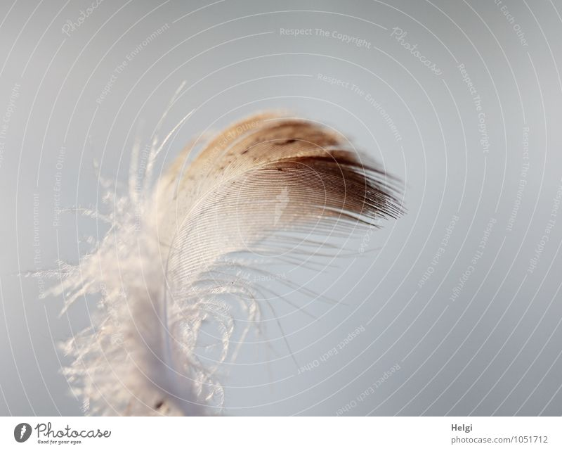 filigran... Feder ästhetisch einfach schön einzigartig klein natürlich weich braun grau weiß Natur Ordnung Vergänglichkeit leicht Leichtigkeit zart Farbfoto