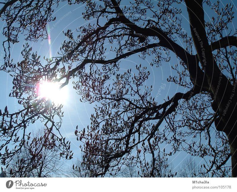 Sonne durch Magnolie Himmel Baum blau Ast Magnoliengewächse