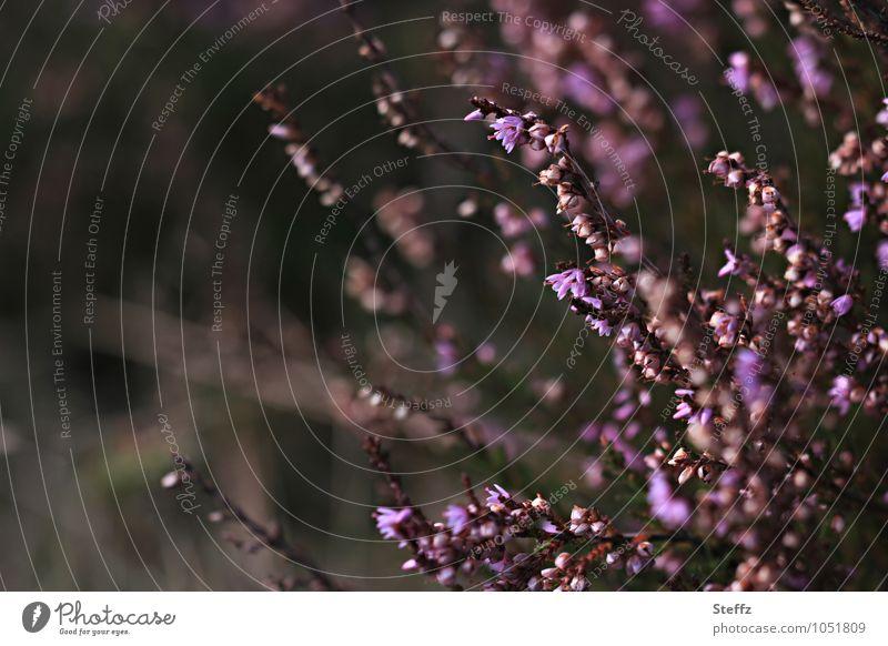 Heidekraut Natur Pflanze schön dunkel Herbst Stimmung wild Sträucher Blühend violett nordisch Herbstbeginn Wildpflanze Heide September heimisch