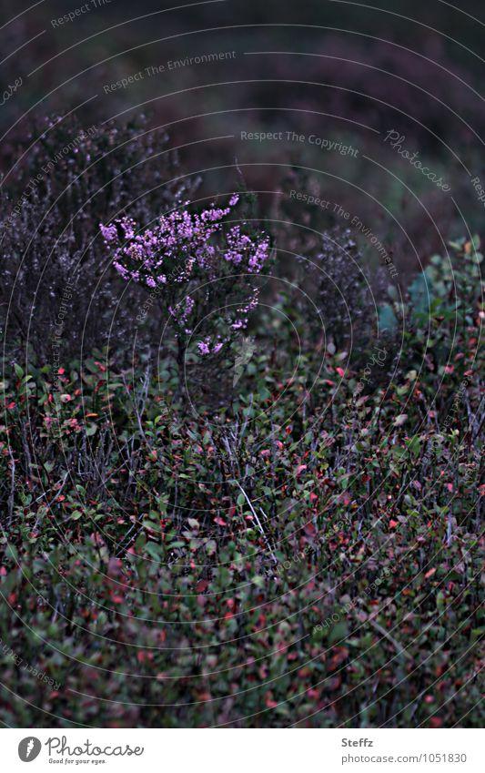ein Stück Heide Herbstheide heimische Wildpflanzen nordische Natur heimische Natur nordische Romantik nordische Flora nordische Wildpflanzen Blaubeeren