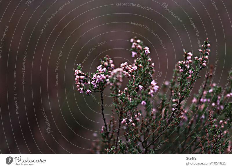 Heide verblühlt langsam Heidestimmung nordische Natur nordische Romantik heimische Wildpflanzen nordische Wildpflanzen nordische Pflanzen heimischer Strauch