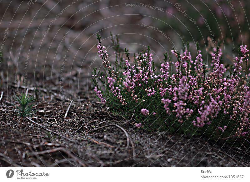 blühende Heidesträucher in einer kargen Umgebung Heideblüte nordische Natur nordische Romantik heimisch poetisch nordische Wildpflanzen Heideromantik