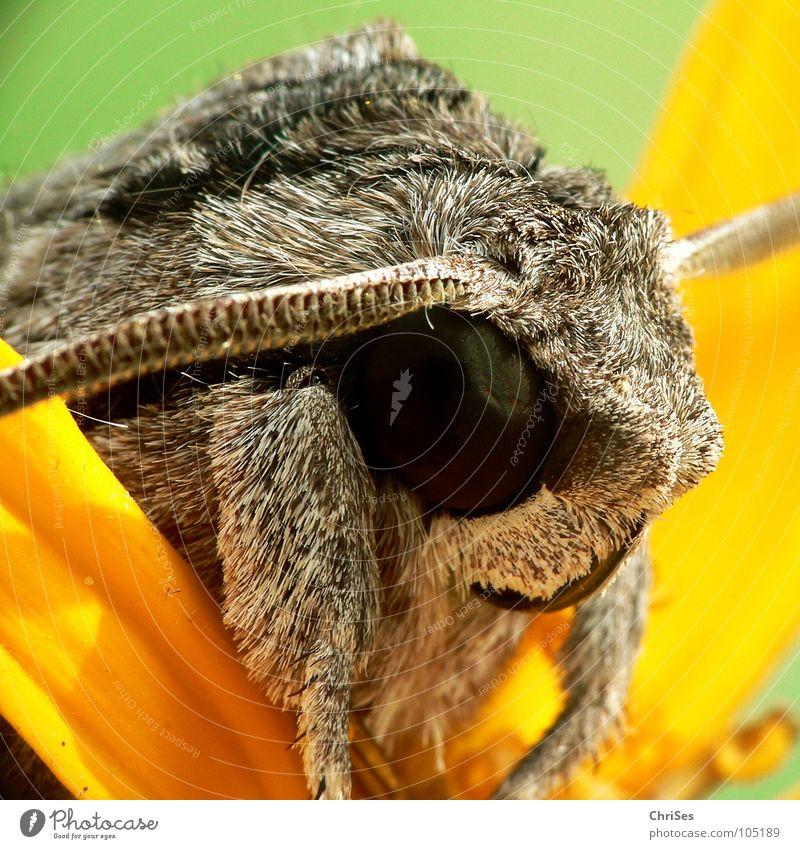 erzähl weiter : Windenschwärmer_01 (Agrius convolvuli) Sommer Tier gelb Garten grau Park braun wandern Insekt Makroaufnahme Fühler Motte Tarnfarbe