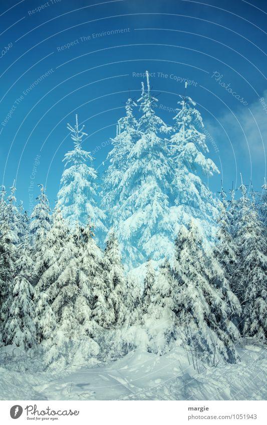Scheinfichten Himmel Natur blau schön weiß Baum Winter Wald kalt Umwelt Schnee Schneefall träumen Eis Wetter Wachstum