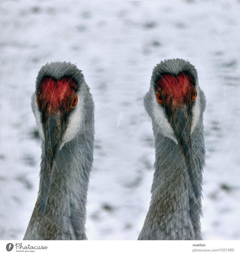 Doppelkopf Schnee Tier Vogel 2 grau rot weiß Kranich Auge Hals Schnabel Doppelportrait Farbfoto Außenaufnahme Menschenleer Textfreiraum oben Tag Porträt