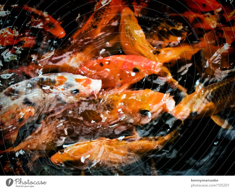 Hunger gelb Fisch fish Appetit & Hunger water goldfish mouth open orange swim