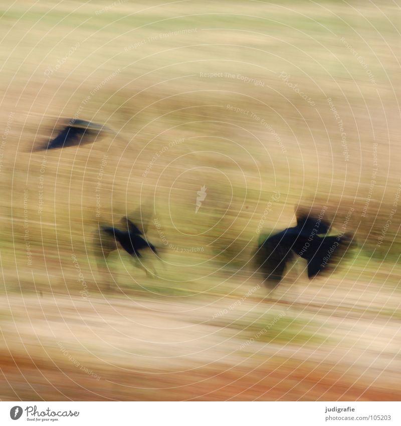 Krähen Vogel Rabenvögel 3 Unschärfe Tier Farbe Kraft fliegen Bewegung Dynamik Luftverkehr Flügel Natur