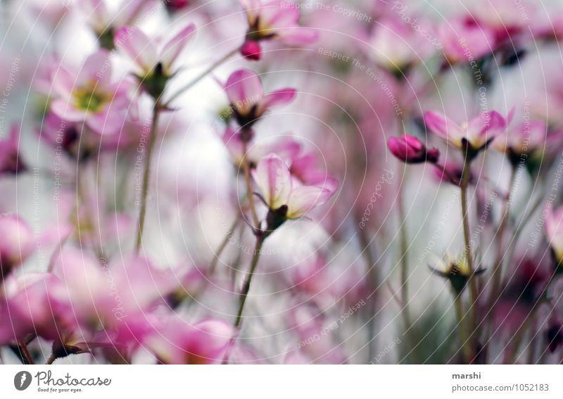 Lust auf Frühling Natur Landschaft Pflanze Sommer Blume Wildpflanze rosa weiß Garten Blühend Blüte Blütenblatt Farbfoto Außenaufnahme Nahaufnahme Detailaufnahme