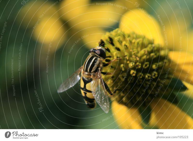 schwebfliege Insekt Tier Blüte bestäuben Fressen saugen Sommer Frühling Biene Wespen gelb Fliege Garten nähren fliegen Flügel