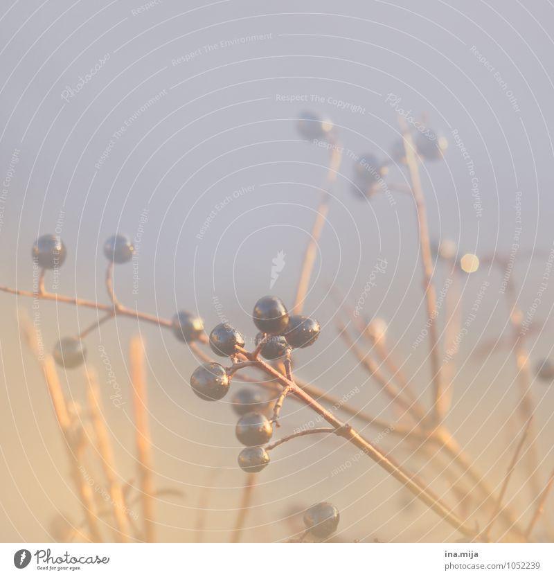 . .... . . .. . Umwelt Natur Pflanze Sträucher Garten Park rund schön blau gold violett Freiheit ruhig Stimmung laublos Beeren lecker Beerensträucher herbstlich