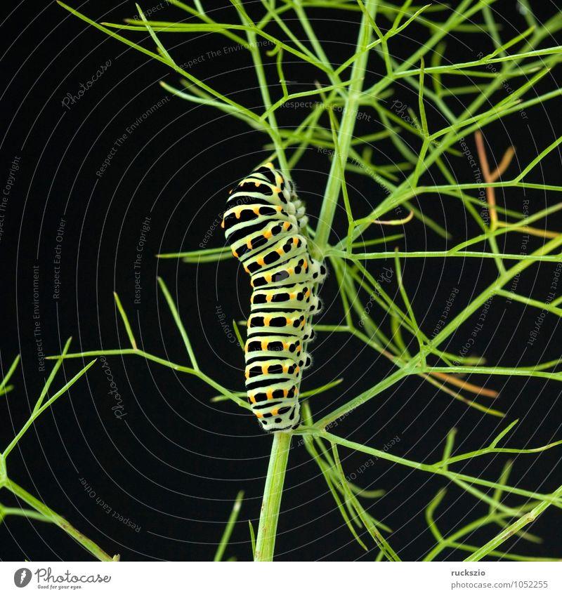 Raupe, Schwalbenschwanz, Wildtier Schmetterling frei schwarz Tagfalter Insekt Edelfalter Edelschmetterling Objektfotografie Caterpillar swallowtail butterfly