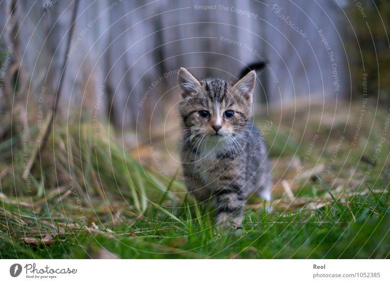 Neugier Natur Gras Tier Haustier Katze Fell Katzenbaby Katzenauge Katzenkopf Schnurrhaar Miau Schnurren Tierjunges 1 träumen natürlich grau grün schwarz weiß