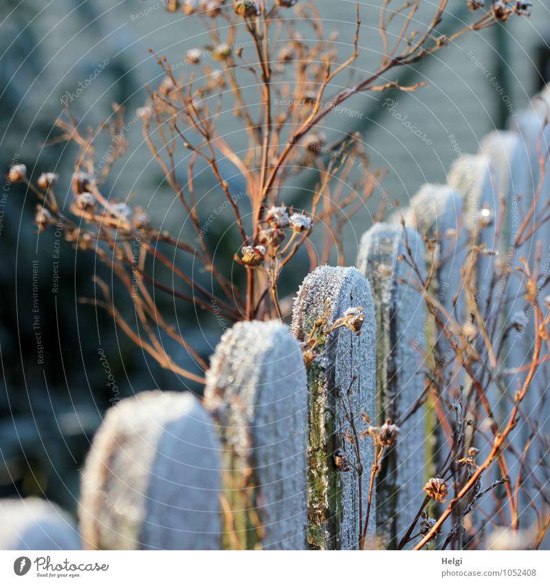 Wintermorgensonne... Umwelt Natur Pflanze Schönes Wetter Eis Frost Garten Zaun Holz alt frieren leuchten stehen dehydrieren ästhetisch authentisch kalt