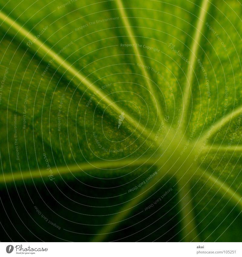 Das Blatt 17 Pflanze Urwald Südamerika Wildnis grün Botanik Pflanzenteile pflanzlich Umwelt Sträucher Wildpflanze Makroaufnahme Nahaufnahme schön akai Natur