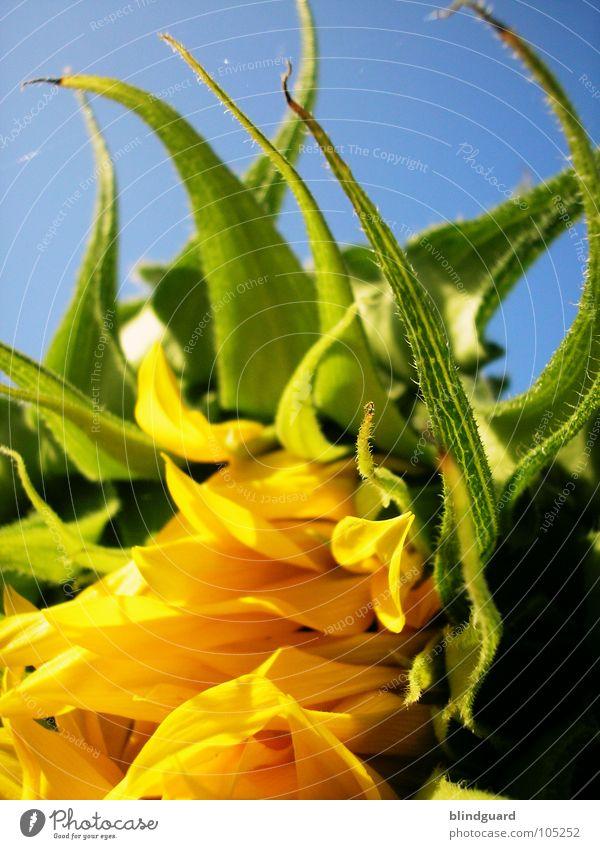 Aufblühen Himmel grün blau Pflanze Sommer gelb Lampe oben Blüte Garten Haare & Frisuren Park Beleuchtung hoch Perspektive Wachstum
