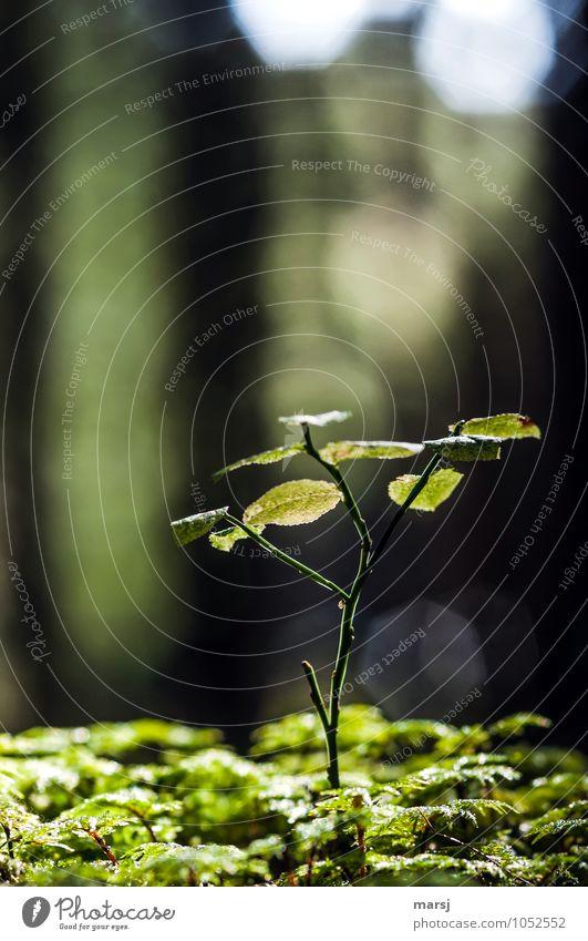 Emporkömmling Natur Frühling Pflanze Wildpflanze Heidelbeerstrauch Blaubeerstrauch Wald stehen Wachstum dünn Erfolg frei natürlich niedlich grün frisch Leben