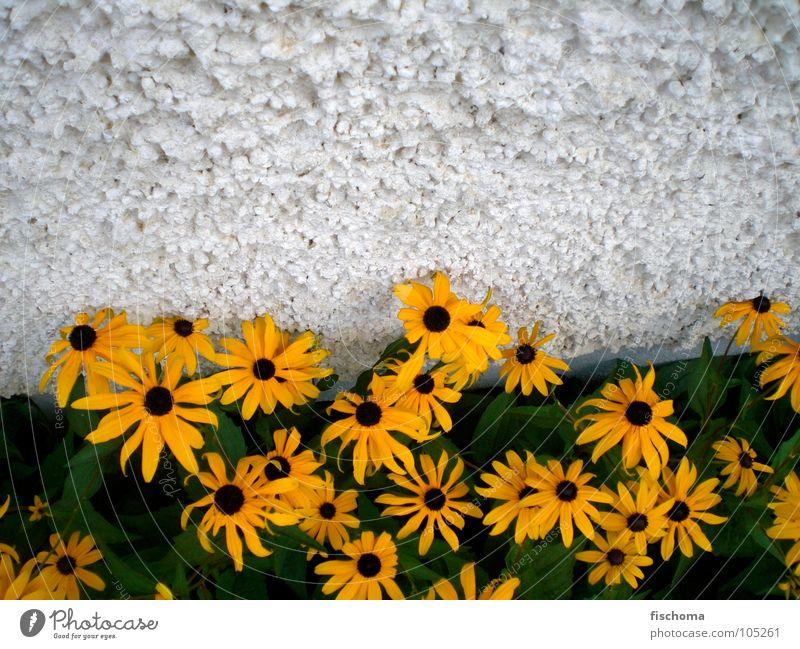 gelbe schönheiten Blume grün Sommer Haus Wand Duft