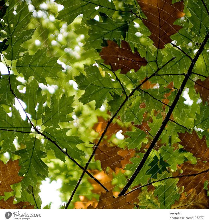 Herbstblätter Baum Ahorn Ahornblatt Blatt acer Blätterdach Natur herbstlich Jahreszeiten Blattfaser Blattadern Blattgrün Farbe Färbung Pflanze Laubbaum Ast
