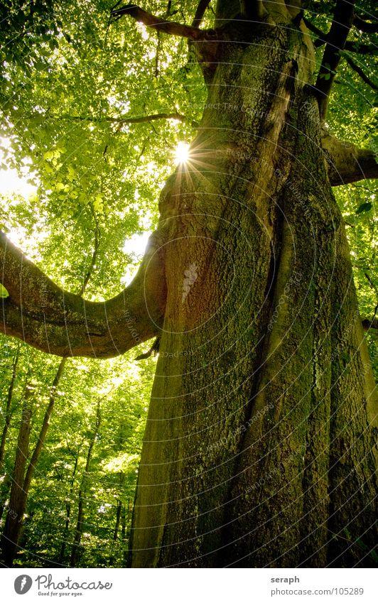 Telperion Natur alt grün Pflanze Sonne Baum Blatt Wald Idylle Wachstum Ast Baumstamm Zweig Baumkrone Baumrinde Blattgrün
