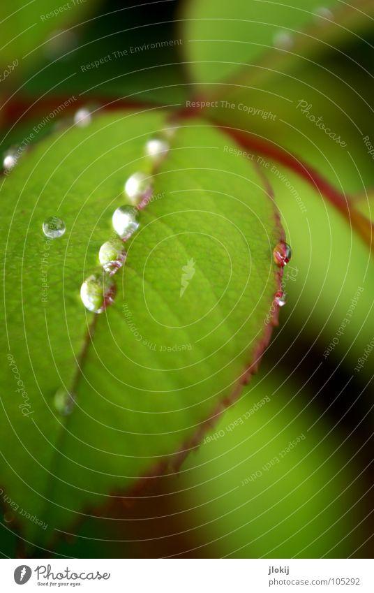 Pearls grün Pflanze Blatt Rose rot Am Rand Gefäße Sommer Wachstum Biologie rein Blume glänzend Glamour Schmuck Reichtum Garten Park Wassertropfen Seil Regen