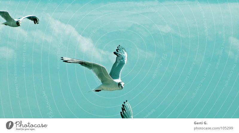 blue.birds Vogel Möwe Federvieh himmlisch hell-blau Wolken schlechtes Wetter füttern Schnabel Möwenvögel mehrere 2 Himmel Blauer Himmel Frieden möwenpic fliegen