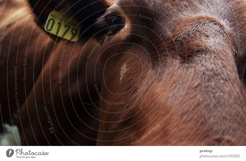 Freund im Geiste Kuh Bulle nah Nahaufnahme anmelden Fell braun Tiefenschärfe Säugetier Makroaufnahme Moral geschlossen Ohr Schilder & Markierungen Stempel