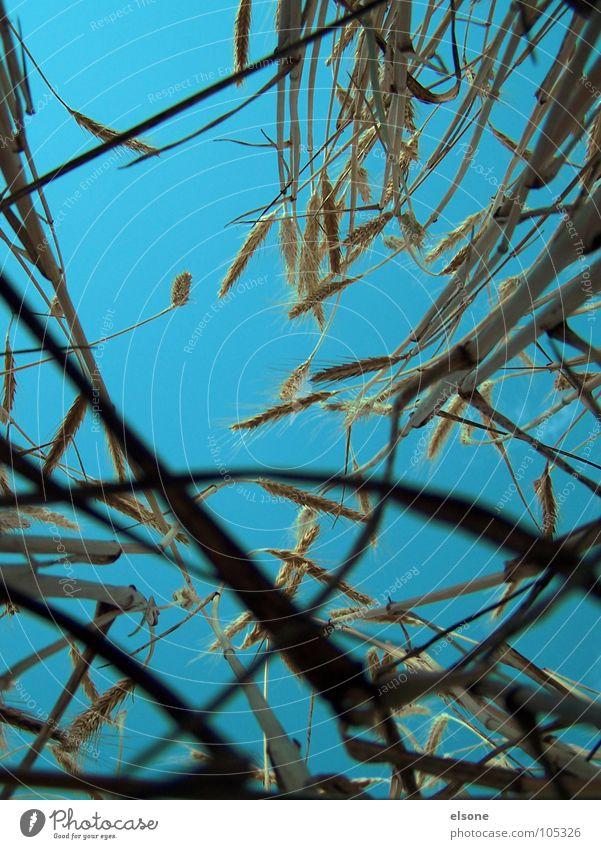 FELD Natur Himmel blau Pflanze Sommer Ernährung gelb oben Feld Lebensmittel gold frisch Getreide unten Landwirtschaft lecker