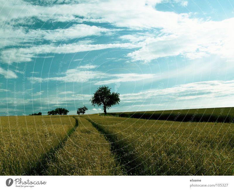 FELD Natur Himmel Baum blau Pflanze Sommer Wolken Ernährung gelb Wege & Pfade Feld Lebensmittel gold frisch Spuren Getreide