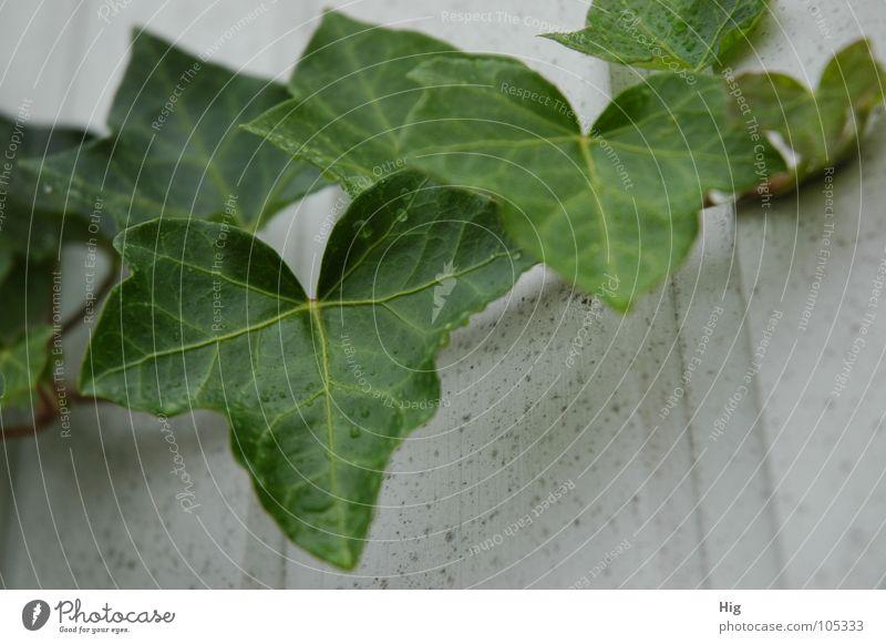 so grün Efeu Pflanze Stengel Ranke feucht frisch Trauer Holz saftig Blatt Gefäße Herbst ruhig Garten Park Zweig Regen Wassertropfen Traurigkeit Natur friedlich
