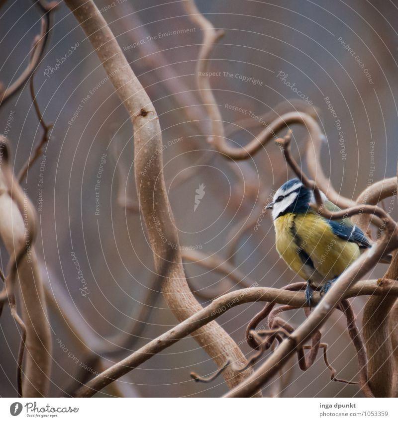 die Katze ist weit weg... Natur Pflanze Tier Winter kalt Umwelt Vogel Wildtier sitzen Sträucher Jahreszeiten Weide kahl Singvögel Haselnuss Meisen