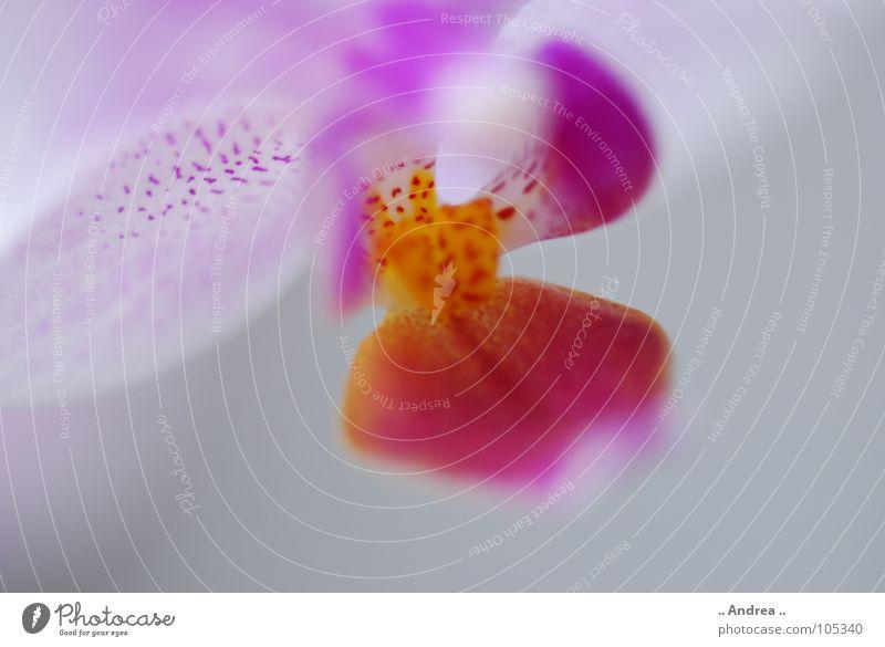 Orchideentraum weiß Blume gelb Blüte rosa Punkt violett Stempel