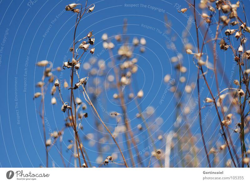 Trockenblumen Himmel Blume blau Sommer Blüte Gras Wärme Sträucher Vergänglichkeit Schönes Wetter Blütenknospen Blauer Himmel Dürre getrocknet Textfreiraum Wolkenloser Himmel