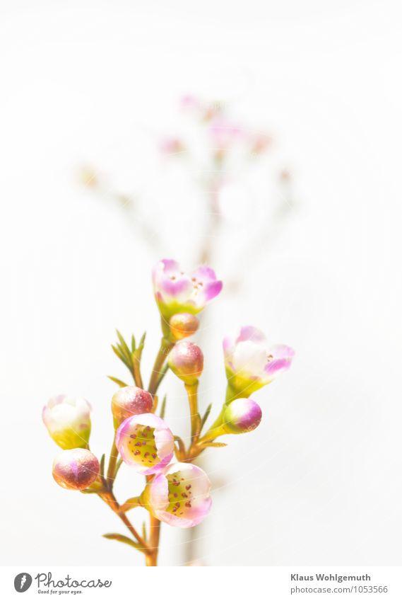 Ganz zart Pflanze Blume exotisch Blühend leuchten gelb gold grün violett weiß duftig Farbfoto Innenaufnahme Studioaufnahme Nahaufnahme Detailaufnahme