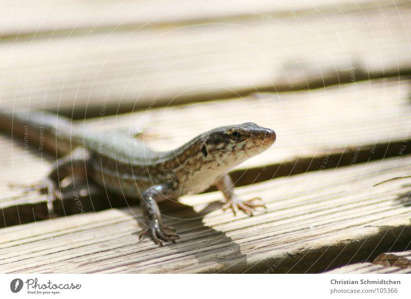 Eidi die Eidechse Echte Eidechsen Ibiza Reptil Echsen Tier Holz Makroaufnahme