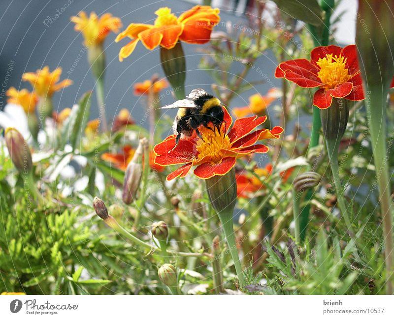 Hummel Blume Sommer Insekt