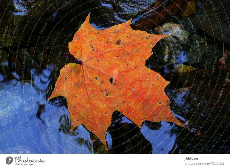 Ahornblatt Wasser Umwelt außergewöhnlich authentisch Urelemente Herbstlaub herbstlich Ahornblatt Kanada Spitzahorn