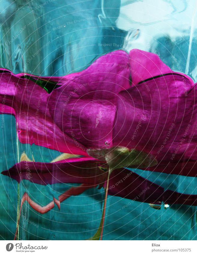 frischgehalten rosa türkis zyan Blume tauchen nass Licht Pflanze Stengel abstrakt außergewöhnlich seltsam Wasserglas senken Blüte Reflexion & Spiegelung