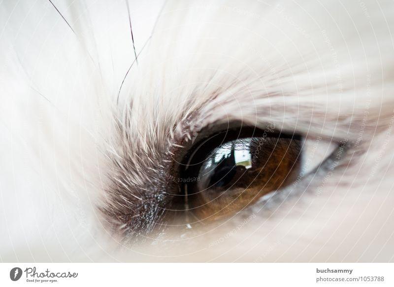 Havaneser Auge Tier Fell langhaarig Haustier Hund 1 klein braun weiß Bichon Haushund Farbfoto Innenaufnahme Nahaufnahme Detailaufnahme Makroaufnahme