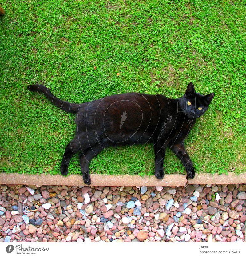 catwalk schwarz Tier Wiese Garten Katze laufen liegen Desaster Säugetier