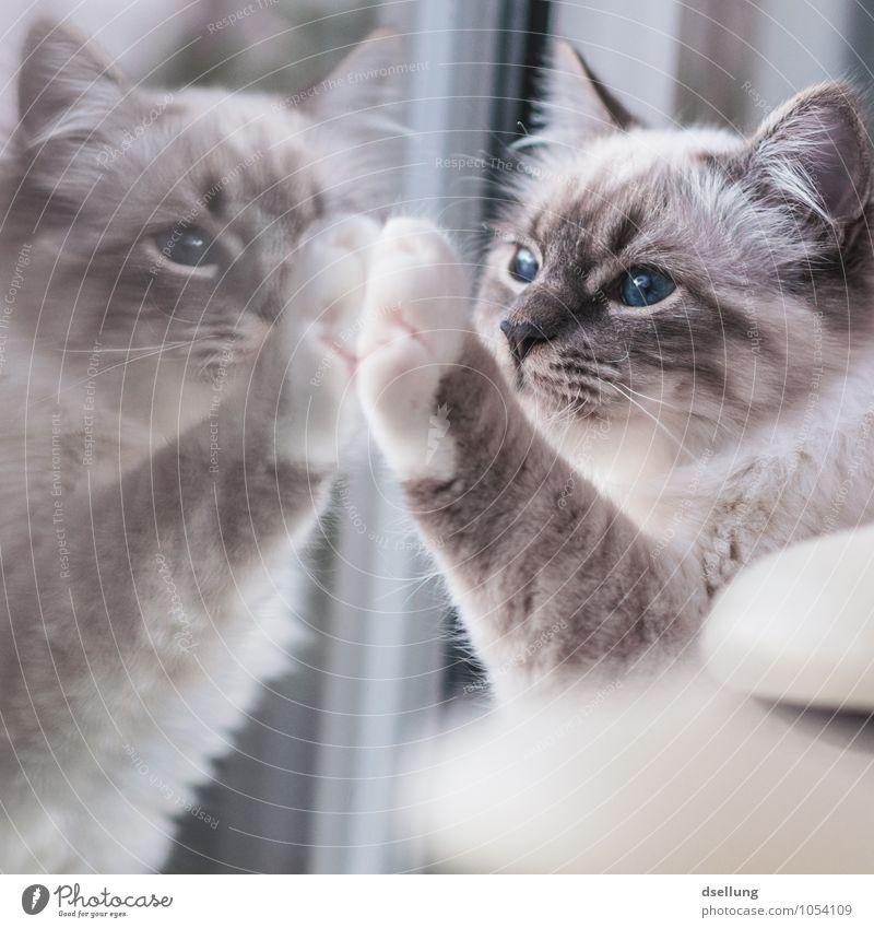zwillinge. Fenster Tier Haustier Katze Birma 1 beobachten berühren festhalten Kommunizieren Blick träumen Freundlichkeit Zusammensein Neugier niedlich Sympathie