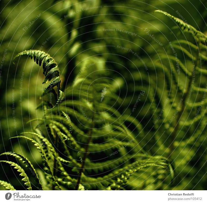 Farn grün grün-gelb Unschärfe Pflanze Lichteinfall nass Sommer scharf-unscharf Echte Farne Garten Schatten feuchtliebend schattenliebend