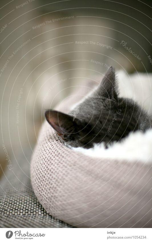 Kuschelmuschel Haustier Katze Katzenohr 1 Tier Kissen körbchen Erholung liegen schlafen kuschlig Wärme weich Gefühle Stimmung Sicherheit Geborgenheit